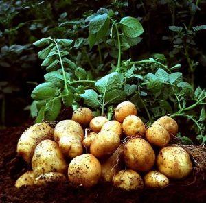 Гумиплант для картофеля 100 г