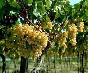 Удобрение для винограда Новалон