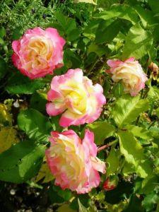 Роза Duble Delight (Дабл Дилайт)