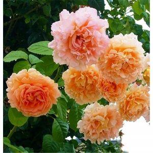 Роза Lord Byron (Лорд Байрон)