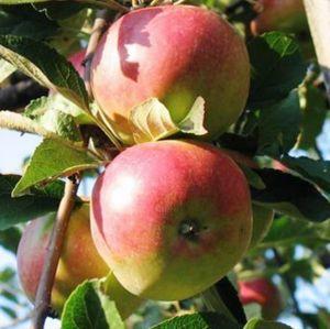 Яблоня Айдаред, осенняя
