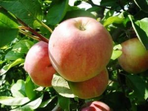 Яблоня Мельба, скороплодная