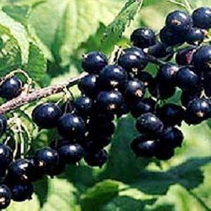 Смородина Софиевская, урожайная