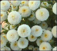 Астра Карликовая белая