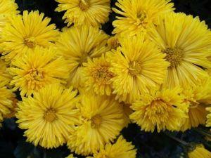 Астра Карликовая желтая