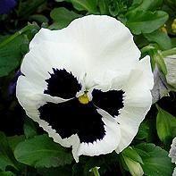 Виола белая