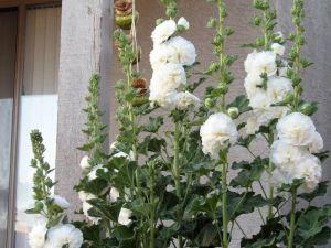 Мальва махровая белая