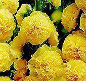 Мальва махровая желтая