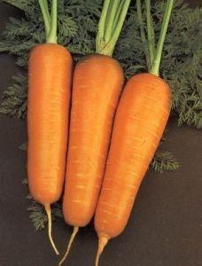 Морковь Амстердамская 2019