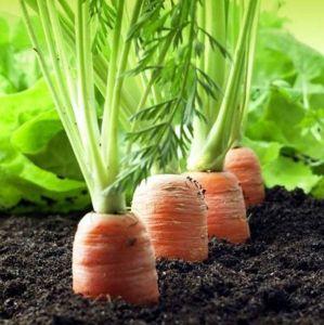 Морковь Красный Великан, профупаковка