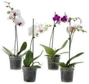 Доктор ФОЛИ орхидея