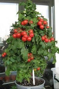 Томат Балконное чудо, красный