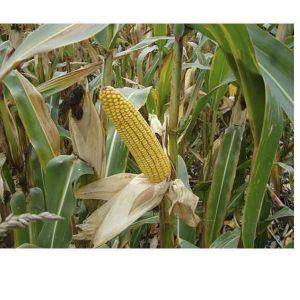 Кукуруза Сахарная 100 г