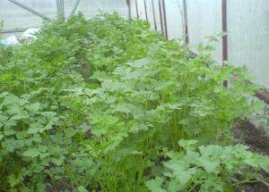 Кориандр салатный Слоуболт