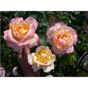 Роза Peace (Пис), штамбовая