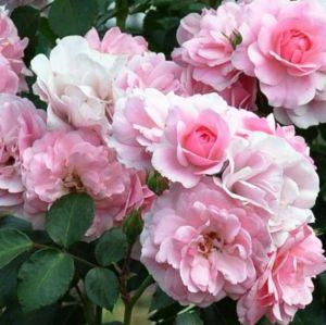 Роза Bonica (Боника), штамбовая