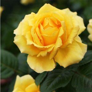 Роза Sunblest (Санблест), штамбовая