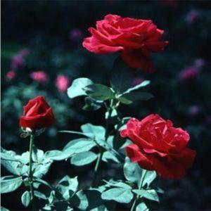 Роза Mr.Lincoln (Мистер Линкольн), штамбовая