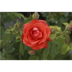 Роза Orange Sensation (Оранж Сенсейшн), штамбовая