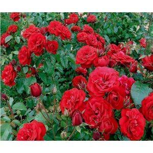 Роза Europeana (Европеана), штамбовая