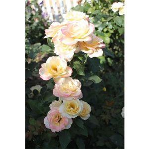 Роза Belle Perle (Белла Перл)