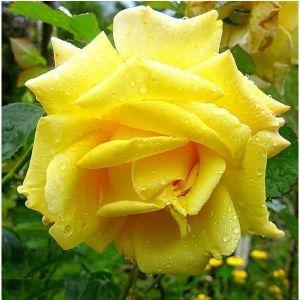 Роза Berolina (Беролина)