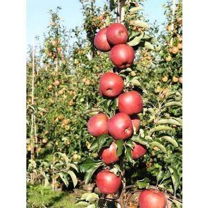 Яблоня Джонапринц, зимняя