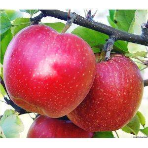 Яблоня Гала Шнига, осенняя