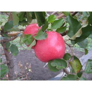 Яблоня Фуджи Кику