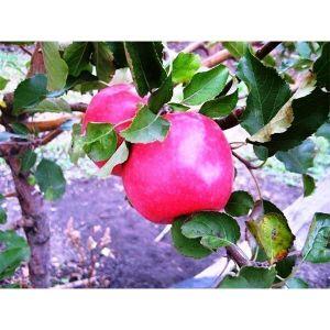 Яблоня Фуджи Кику, осенняя