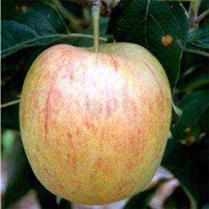 Яблоня Делькорф, зимняя
