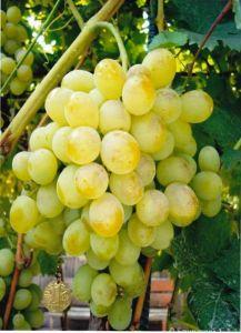 Виноград Восторг, ранний