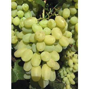 Виноград Лора (Флора), суперранний