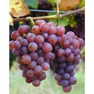 Виноград Одиссей, ранний