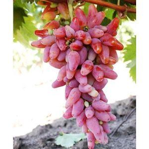 Виноград Оригинал, крупноплодный