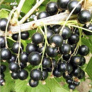 Смородина Рубен, высокоурожайная