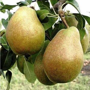 Груша Таврическая, скороплодная
