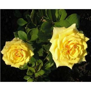 Роза Landora (Ландора)