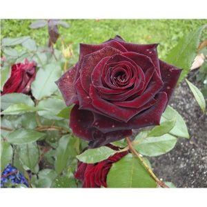 Роза Black Magic (Блек Меджик)