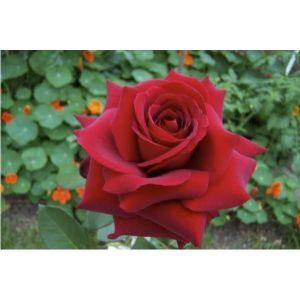 Закваска Эвита роз инструкция по приготовлению личный