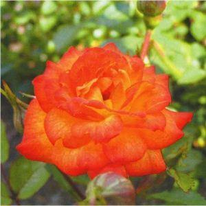 Роза Sunmaid (Санмейд)