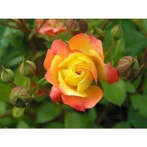 Роза Rumba (Румба)