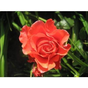 Роза Korvette (Корвет)