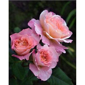 Роза Fox Trot (Фокс Трот)