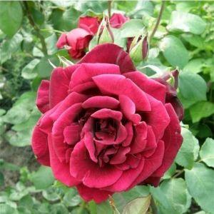 Роза Grand Prix (Гранд При)
