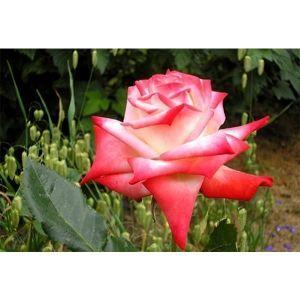 Роза Kaiserin Farah (Imperatrice) (Кайзерин Фарах, Императрис)