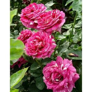 Роза Pestraja Fantasia (Пестрая Фантазия)