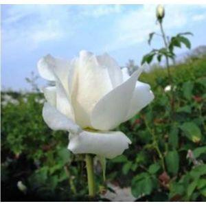 Роза White Symphony (Уайт Симфони)