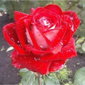 Роза Luxor (Люксор)