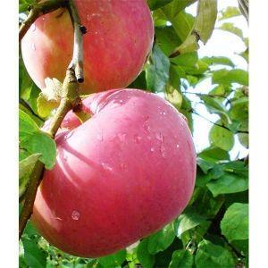 Яблоня Эрли Женева, скороплодная